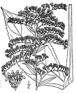 picture of Solidago juncea, image of Solidago juncea, photograph of Solidago juncea