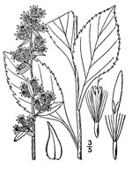 picture of Solidago squarrosa, image of Solidago squarrosa, photograph of Solidago squarrosa