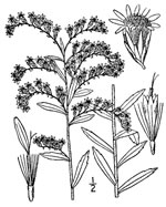 picture of Solidago tortifolia, image of Solidago tortifolia, photograph of Solidago tortifolia