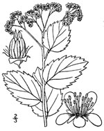 picture of Spiraea corymbosa, image of Spiraea betulifolia var. corymbosa, photograph of Spiraea betulifolia