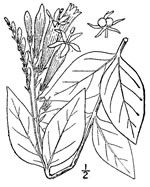 picture of Spigelia marilandica, image of Spigelia marilandica, photograph of Spigelia marilandica