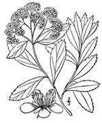 picture of Spiraea virginiana, image of Spiraea virginiana, photograph of Spiraea virginiana
