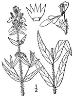 picture of Stachys aspera, image of Stachys aspera, photograph of Stachys hyssopifolia var. ambigua