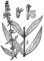 picture of Stachys arenicola, image of Stachys pilosa var. arenicola, photograph of -