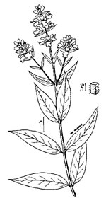 picture of Stachys palustris, image of Stachys palustris, photograph of -