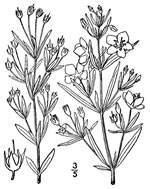 picture of Lysimachia quadriflora, image of Lysimachia quadriflora, photograph of -