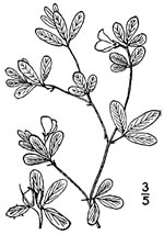picture of Stylosanthes biflora, image of Stylosanthes biflora, photograph of Stylosanthes biflora