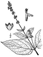 picture of Stachys cordata, image of Stachys cordata, photograph of Stachys clingmanii