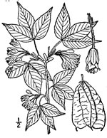 picture of Staphylea trifolia, image of Staphylea trifolia, photograph of Staphylea trifolia