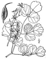 picture of Thalictrum coriaceum, image of Thalictrum coriaceum, photograph of Thalictrum coriaceum