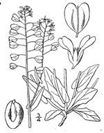 picture of Microthlaspi perfoliatum, image of Microthlaspi perfoliatum, photograph of Thlaspi perfoliatum
