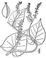 picture of Fallopia cilinodis, image of Polygonum cilinode, photograph of Polygonum cilinode