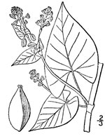 picture of Fallopia scandens, image of Polygonum scandens var. scandens, photograph of Polygonum scandens var. scandens