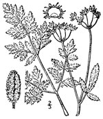 picture of Torilis japonica, image of Torilis japonica, photograph of -