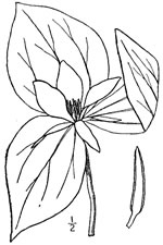 picture of Trillium sessile, image of Trillium sessile, photograph of -
