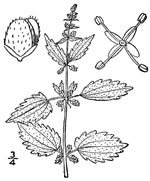 picture of Urtica chamaedryoides, image of Urtica chamaedryoides, photograph of Urtica chamaedryoides