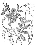 picture of Vicia americana var. americana, image of Vicia americana ssp. americana, photograph of -