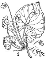 picture of Viola incognita, image of Viola blanda var. palustriformis, photograph of Viola blanda