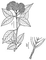picture of Viburnum lentago, image of Viburnum lentago, photograph of Viburnum lentago