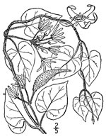 picture of Matelea obliqua, image of Matelea obliqua, photograph of Matelea obliqua