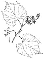 picture of Vitis riparia, image of Vitis riparia, photograph of Vitis riparia