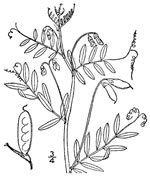 picture of Vicia tetrasperma, image of Vicia tetrasperma, photograph of Vicia tetrasperma