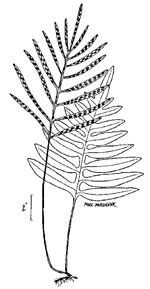 picture of Lorinseria areolata, image of Woodwardia areolata, photograph of Woodwardia areolata