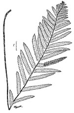 picture of Anchistea virginica, image of Woodwardia virginica, photograph of Woodwardia virginica