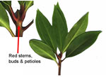 picture of Illicium floridanum, image of Illicium floridanum, photograph of -
