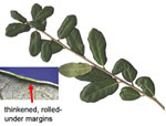 picture of Quercus virginiana, image of Quercus virginiana, photograph of Quercus virginiana