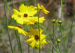 picture of Coreopsis falcata, image of Coreopsis falcata, photograph of Coreopsis falcata