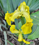picture of Iris pseudacorus, image of Iris pseudacorus, photograph of Iris pseudacorus