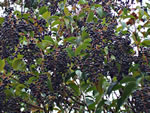 picture of Ligustrum japonicum, image of Ligustrum japonicum, photograph of Ligustrum japonicum
