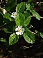 picture of Crataegus uniflora, image of Crataegus uniflora, photograph of Crataegus uniflora
