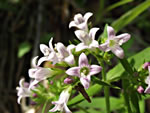 picture of Houstonia longifolia var. compacta, image of Houstonia longifolia, photograph of Houstonia longifolia