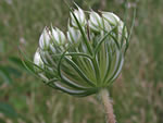 picture of Daucus carota, image of Daucus carota, photograph of Daucus carota