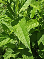 picture of Teucrium canadense +, image of Teucrium canadense +, photograph of Teucrium canadense