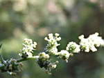 picture of Chenopodium album, image of Chenopodium album var. album, photograph of Chenopodium album