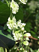 picture of Fallopia cristata, image of Polygonum scandens var. cristatum, photograph of Polygonum scandens var. cristatum