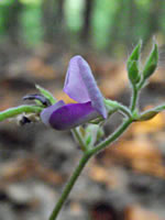 picture of Desmodium rotundifolium, image of Desmodium rotundifolium, photograph of Desmodium rotundifolium