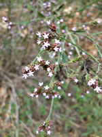 picture of Verbena brasiliensis, image of Verbena brasiliensis, photograph of Verbena brasiliensis