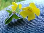 picture of Oxalis priceae, image of Oxalis priceae ssp. priceae, photograph of -
