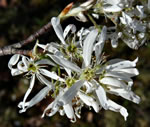 picture of Amelanchier arborea, image of Amelanchier arborea var. arborea, photograph of Amelanchier arborea var. arborea