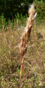 picture of Andropogon glomeratus, image of Andropogon glomeratus var. glomeratus, photograph of Andropogon virginicus