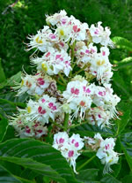 picture of Aesculus hippocastanum, image of Aesculus hippocastanum, photograph of -