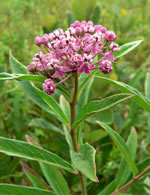 picture of Asclepias incarnata var. pulchra, image of Asclepias incarnata ssp. pulchra, photograph of Asclepias incarnata ssp. pulchra