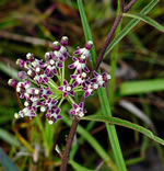 picture of Asclepias longifolia, image of Asclepias longifolia, photograph of Asclepias longifolia