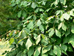 picture of Aesculus parviflora, image of Aesculus parviflora, photograph of -