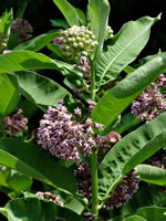 picture of Asclepias syriaca, image of Asclepias syriaca, photograph of Asclepias syriaca