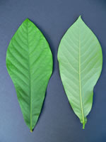 picture of Asimina triloba, image of Asimina triloba, photograph of Asimina triloba